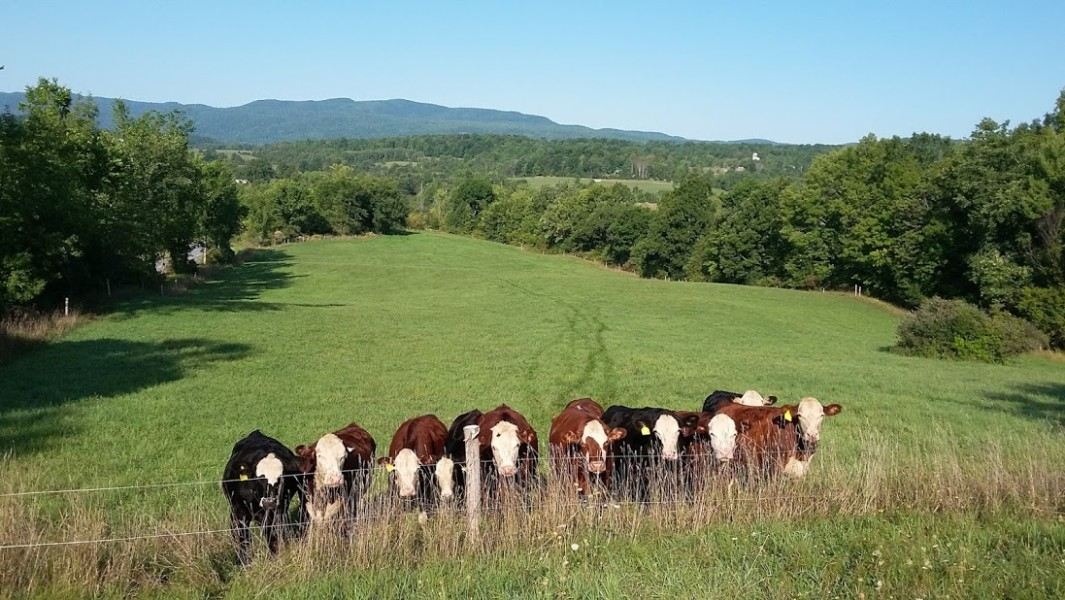 Front View Cows